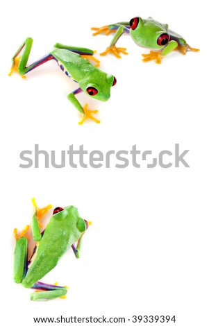 Young red eyed tree frogs isolated on a white page - stock photo