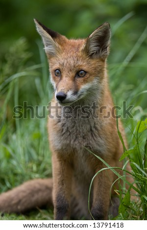 Young Red Fox cub - stock photo