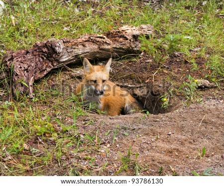 Young Red Fox in Den