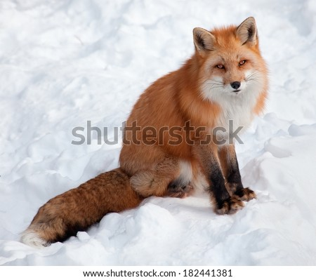 Young Red Fox in the Snow Looking at the Camera - stock photo