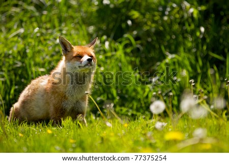 young red fox in the spring - stock photo