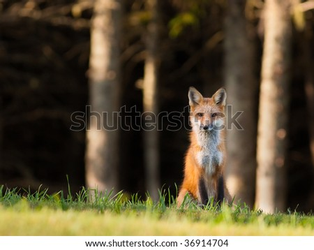 Young red fox sitting on the edge of the forest, looking cautiously at the camera - stock photo