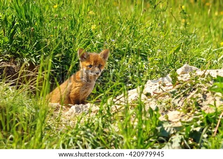 young red fox standing at the entrance of the burrow ( Vulpes vulpes ) - stock photo