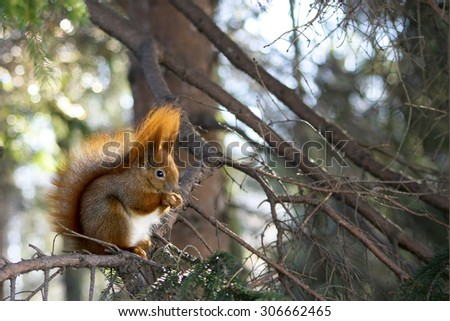 Young red squirrel on the branch - stock photo