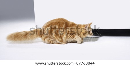 young reddish Maine Coon cat while sneaking in front of a couch - stock photo