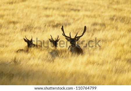 Young reindeers in the grass
