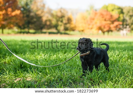 Young retriever puppy on a leash - stock photo