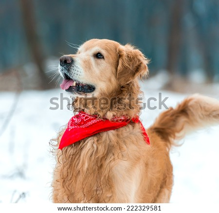 Young  retriever walk at the snow in winter park close-up