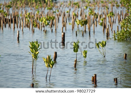 Young Rhizophora apiculata Blume at Bangpoo, Thailand - stock photo