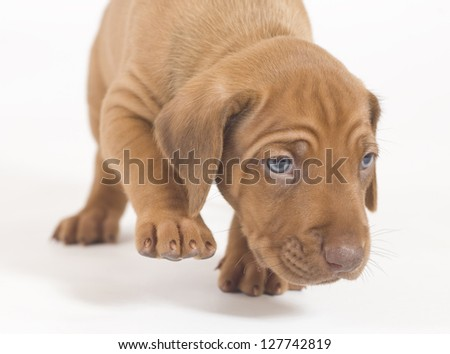 young Rhodesian Ridgeback puppy, 6 weeks old, moving foreward closeup - stock photo
