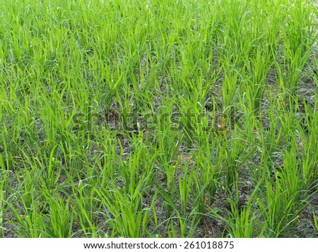 Young rice field - stock photo