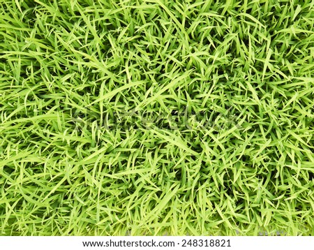 young rice plant in rice field - stock photo
