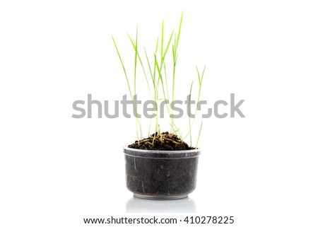 Young rice seedling growing in a soil on white background - stock photo
