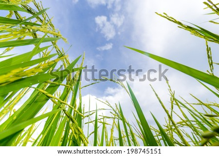 young rice soon will be ready to harvest