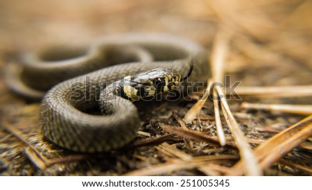 young ring snake in a forest in Germany - stock photo