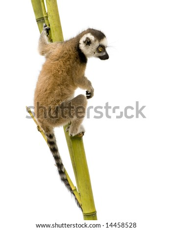 young Ring-tailed Lemur (6 weeks) - Lemur catta in front of a white background - stock photo