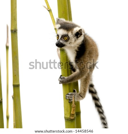 young Ring-tailed Lemur (6 weeks) - Lemur catta in front of a white background