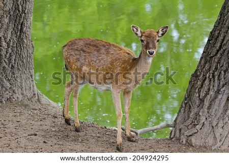 Young roe deer near the lake. - stock photo