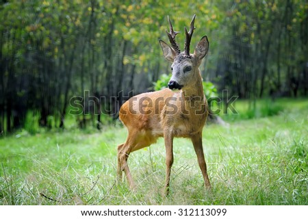 Young roe deer standing in the summer forest - stock photo