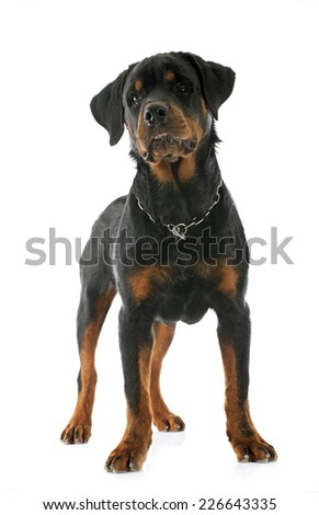 young rottweiler in front of white background - stock photo
