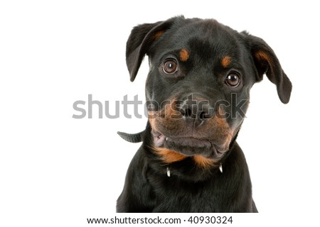 Young Rottweiler. Isolated on white background