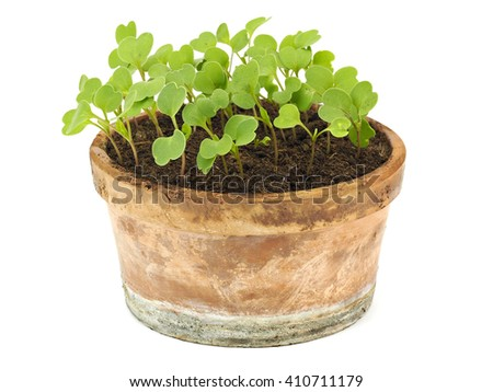 Young rucola laves growing in a clay pot on a white background - stock photo