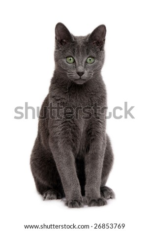 Young Russian Blue cat sitting on white background - stock photo