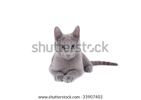 Young Russian Blue male Cat on white background