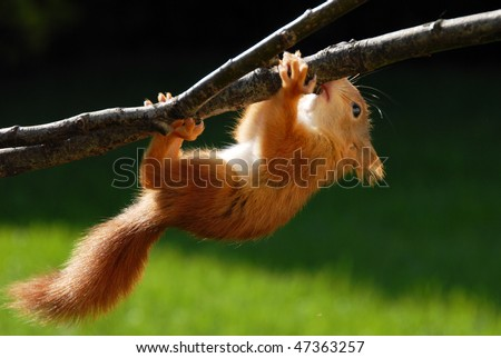 Young rusty-coloured playful squirrel