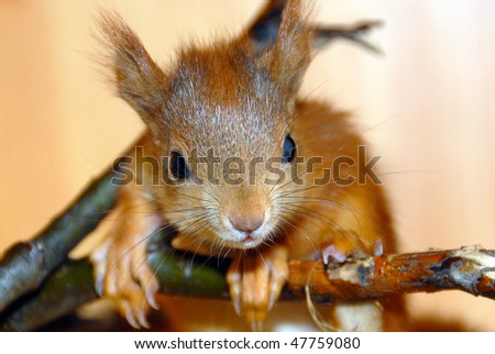 Young rusty-coloured playful squirrel - stock photo