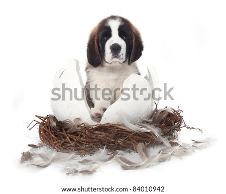 Young Saint Bernard Puppy Sitting in a Cracked Egg With Feathers - stock photo