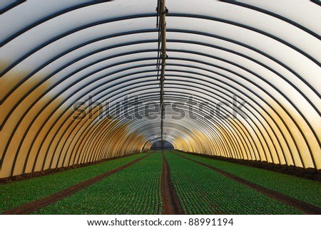 Young salad inside of greenhouse - stock photo