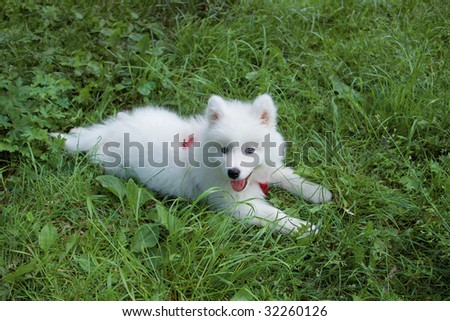 Young Samoyed dog in the grass