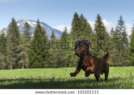 young sausage dog jumps in fresh green meadow with mountains in the back - stock photo
