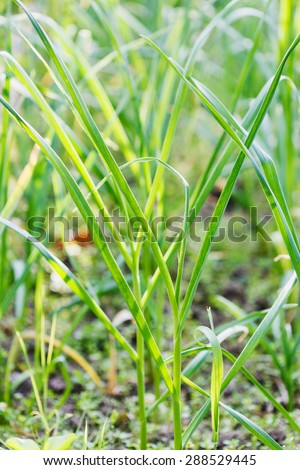 young scapes of spring green garlic close up in garden - stock photo