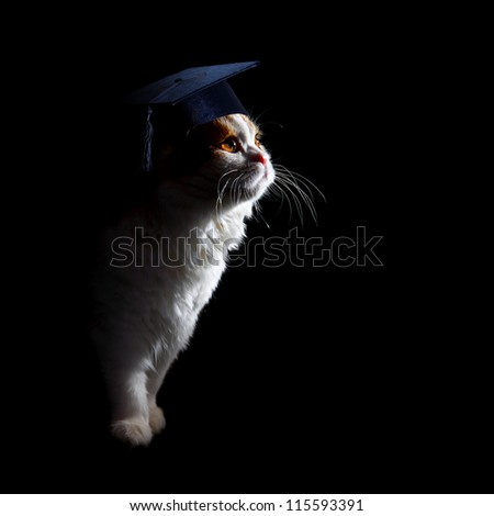 young scottish fold kitten profile on black background - stock photo