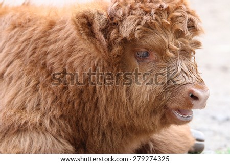 Young Scottish Highland Cattle (Bos Primigenius Taurus)