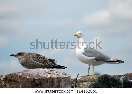 young seagull (Larus Ridibundus) standing on rocks at seaside
