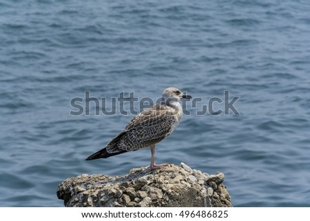 Young seagull on a rock.