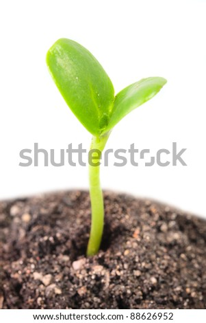Young seedling growing in a soil. Close up with shallow DOF. - stock photo