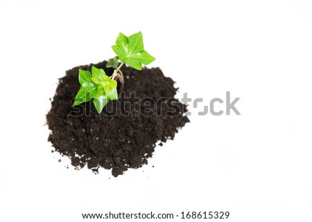 Young seedling growing in a soil, isolated on white