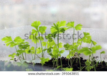 Young seedling growing in pot on windowsill (indoor) - stock photo