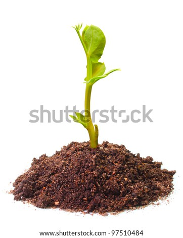 Young seedling of a peas (Pisum sativum) growing in a soil. Peas are high in fiber, protein, vitamins, minerals, and lutein. - stock photo