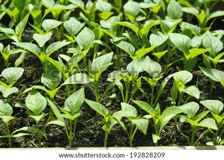 Young seedlings of bell pepper plants before planting in soil in bright sunshine - stock photo