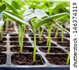 Young seedlings of cucumbers in tray. - stock photo