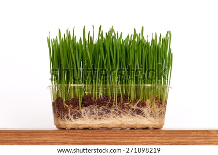 Young seedlings of green wheat sprouts - stock photo