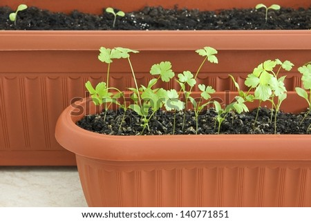 Young seedlings of parsley and lettuce in pots close up - stock photo
