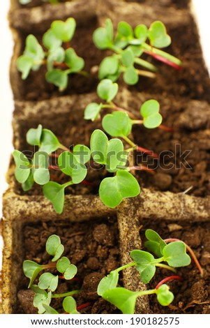 Young seedlings of radish in tray close up
