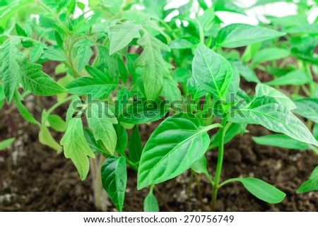 Young seedlings tomato and pepper close up - stock photo