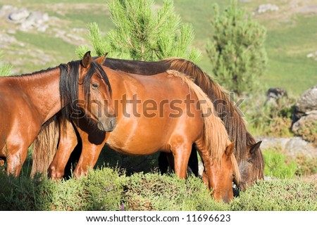 Young semi-wild horses in a mountain in the north of Portugal